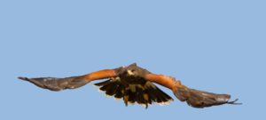 Register your Harris's Hawk